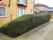 Large Shrub to be Removed