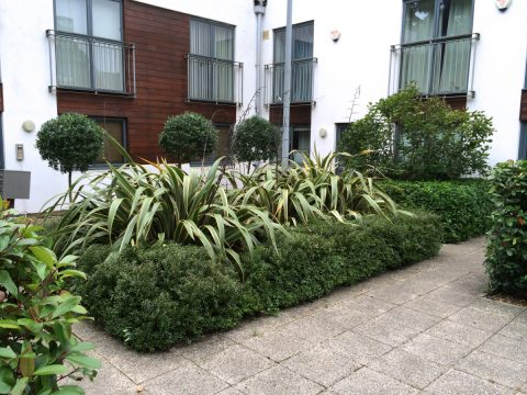 Trimmed shrubs at new Streatham site
